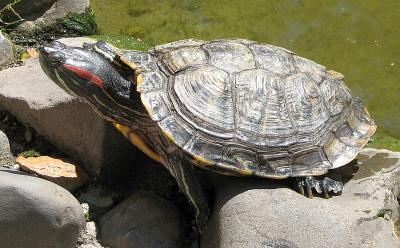 We discovered the representatives of a novel, sixth adenovirus genus in sliders. The picture shows a red-eared slider (Trachemys scripta elegans), an invasive species.